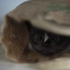 Felini cat hiding in paper bag